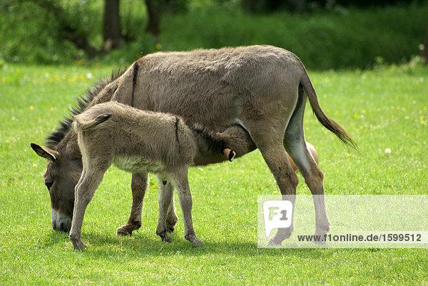 Donkey nursing its foal in field