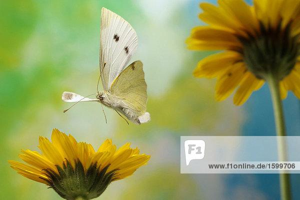 Kleiner Kohlweißling (Pieris Rapae) Schmetterling schwebend über blumen Nahaufnahme