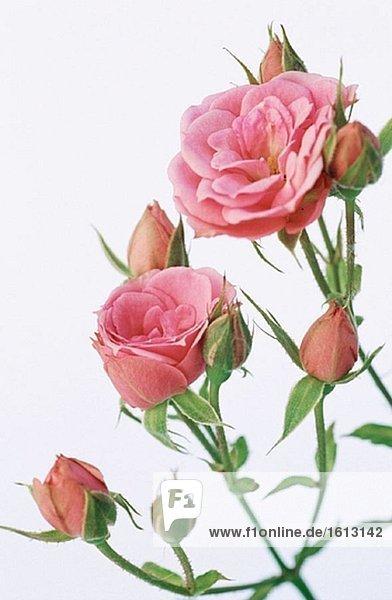 Rosen (Rosa sp.)