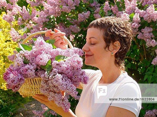 Gemeinsame lila flieder (Syringa Vulgaris)