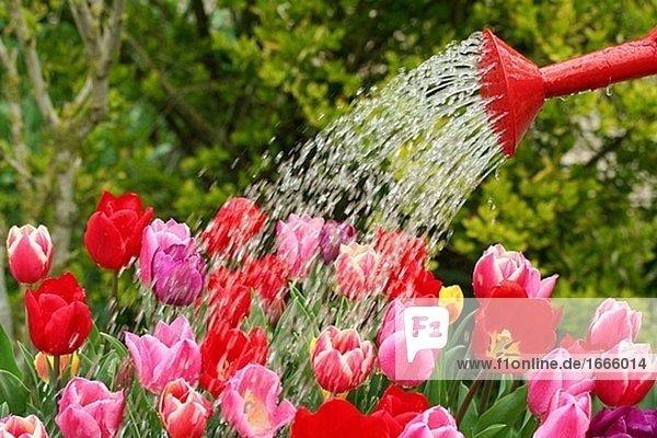 Watering tulips (Tulipa hybr.)