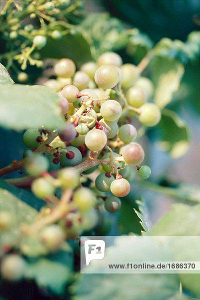 Reifung auf Weinrebe Weintrauben