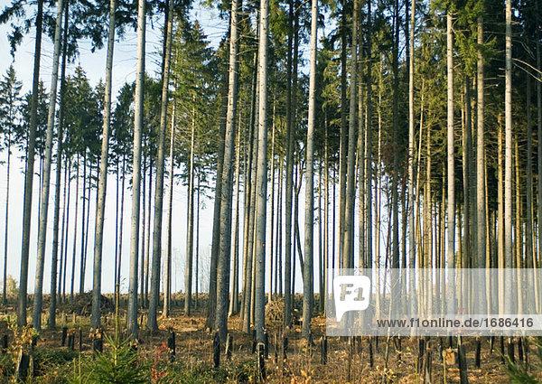 Switzerland  forest of pines undergoing reforestation