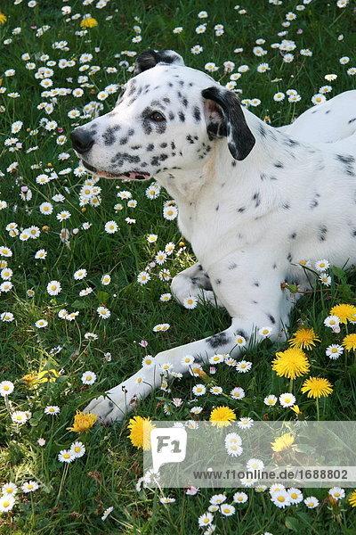 Dalmatinischen liegend in blühen Sie Feld