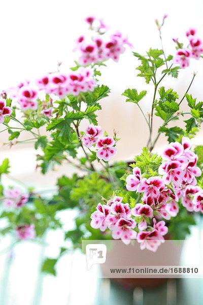 Nahaufnahme der Geranie und Anlagen in der Blumentopf