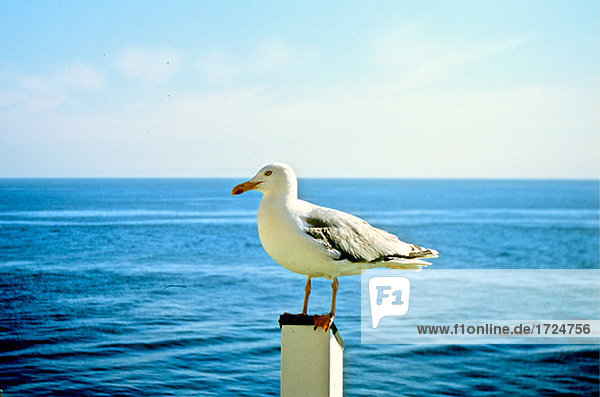 Gull on a pale
