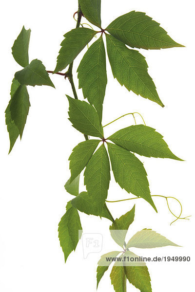Virginia-Kriecher (Parthenocissus spec)