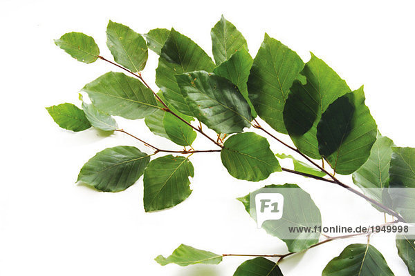 Buchenblätter (Fagus sylvatica) auf weißem Grund  Nahaufnahme