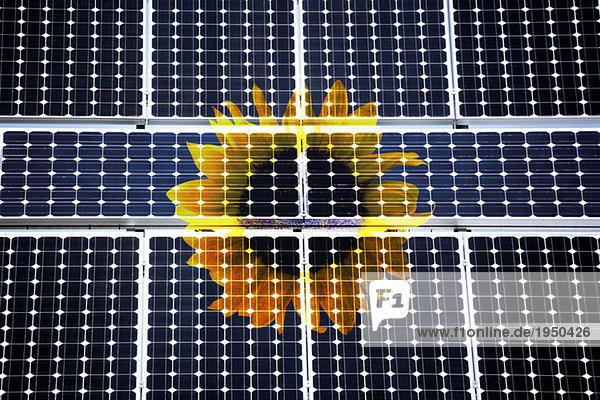Sonnenblume hinter Solarzellen