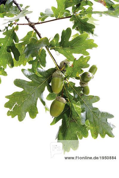Eicheln und Eichenblätter