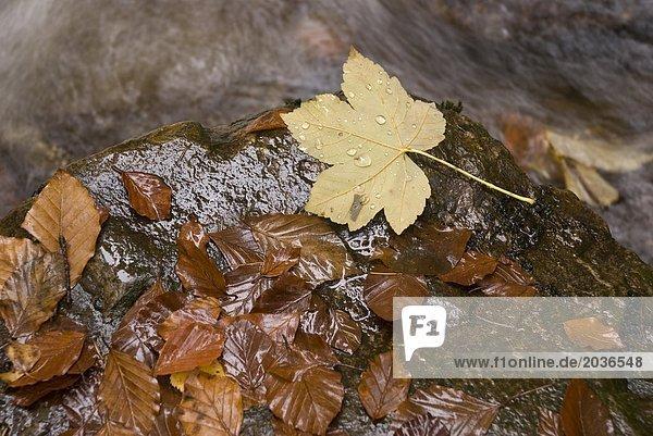 Ahornblätter auf nassem Stein