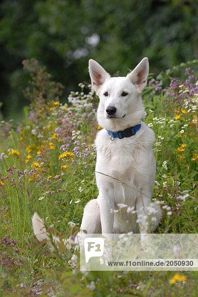 Im Feld sitzen Schäferhund