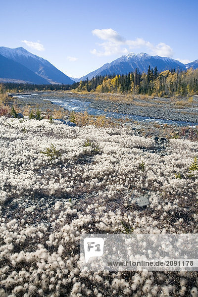 Alaska cotton grass in bloom along the Alaska Highway in early fall.