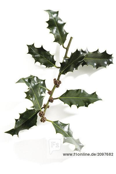 Stechpalmenzweig (Ilex aquifolium)  Nahaufnahme