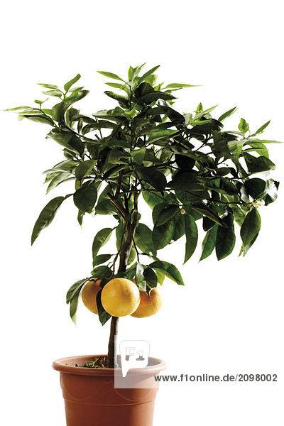 Topf-Grapefruitbaum (Citrus maxima)  Nahaufnahme