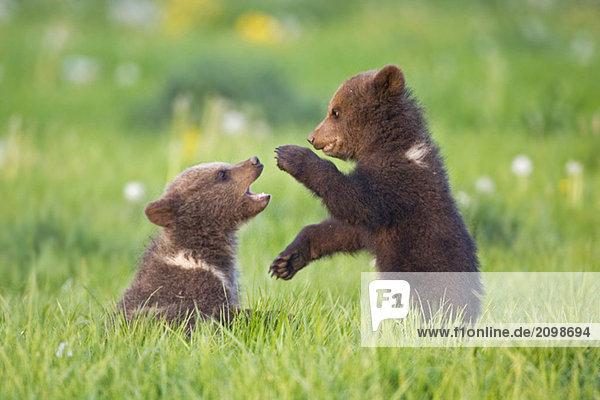 Europäische Braunbärenkinder spielen ((Ursus arctos)  Nahaufnahme Europäische Braunbärenkinder spielen ((Ursus arctos), Nahaufnahme