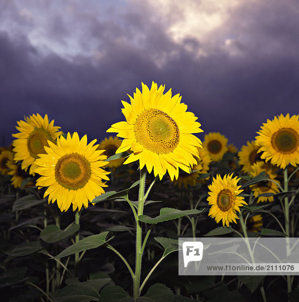 Sunflowers blooming in field
