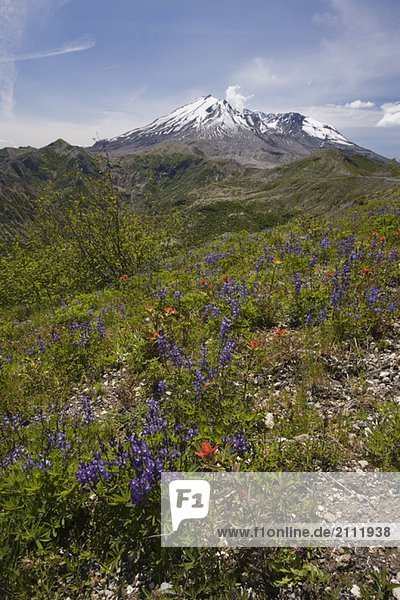 View of Mt. St. Helens and wildflowers  Mount St. Helens National Volcanic Monument  Washington  USA
