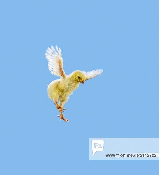 Yellow Chick. Baby Chicken. 'Flying'. Yellow Chick. Baby Chicken. 'Flying'.