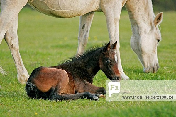 Swedish Warmblood horses  mare with foal.