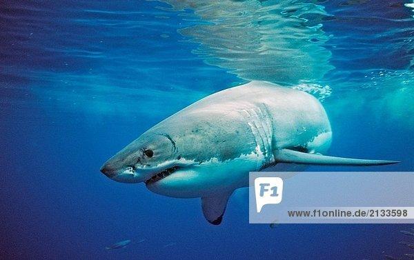 Weißhai Carcharodon Carcharias  Mexiko  Pazifischer Ozean  Guadalupe