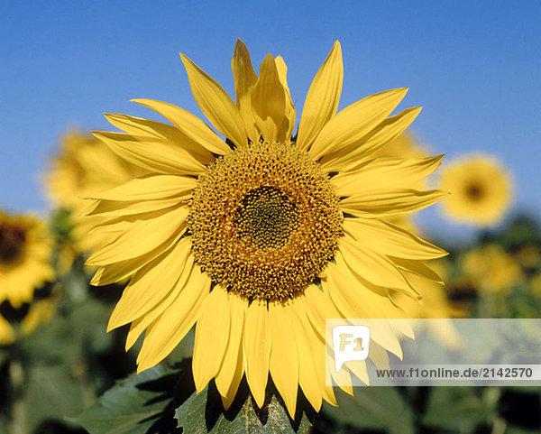 Sunflowers. Osuna  Sevilla province. Spain