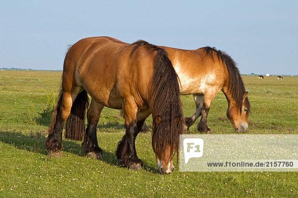 Heavy Horses (Zugpferd) aus auf Feed auf Insel Hallig Hooge  Schleswig-Holstein  Deutschland