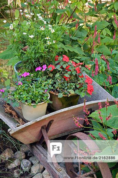 Knotweed frames old wheelbarrow w/ Impatiens  Daisies in containers (Polygonum cv.; Impatiens walleriana). Beebe  Blaine  WA.