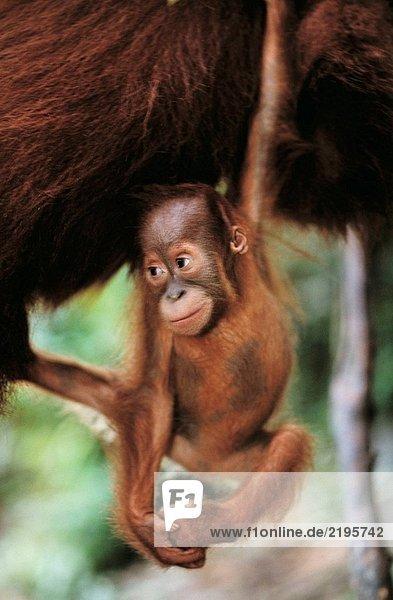 Borneo-Orang-Utan (Pongo Pygmaeus)  baby. Gunung Leuser Nationalpark  Indonesien Borneo-Orang-Utan (Pongo Pygmaeus), baby. Gunung Leuser Nationalpark, Indonesien