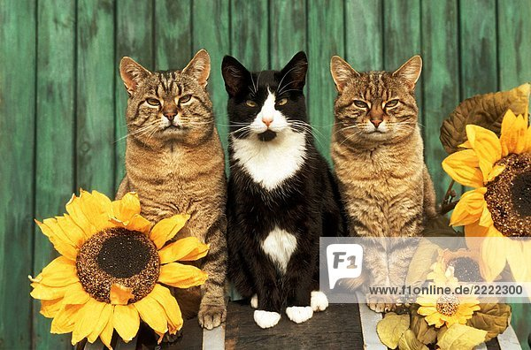 three domestic cats - sitting between sun flowers