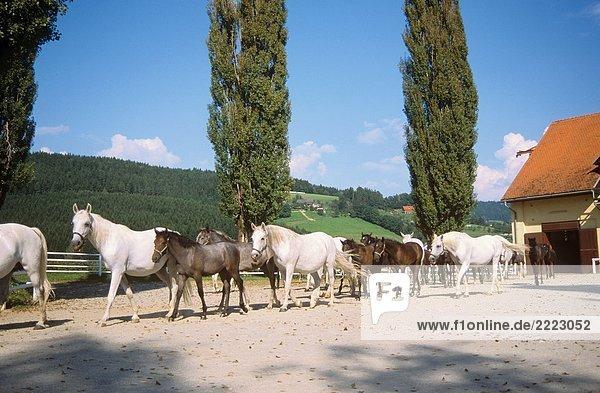 Lipizzaner - herd