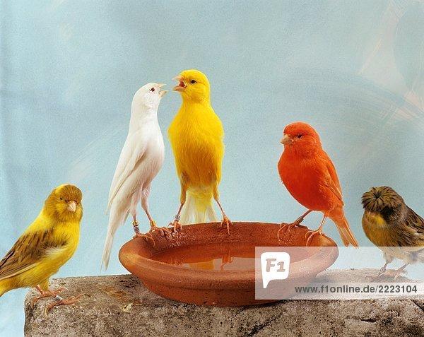 fünf Kanarienvögel