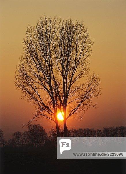 Baum : Sonnenuntergang