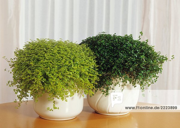 botanik bubikopf bubik pfchen drinnen halbschatten haus lizenzfreies bild bildagentur. Black Bedroom Furniture Sets. Home Design Ideas