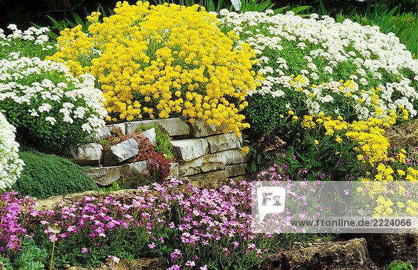 Steingarten mit verschiedenen Blumen 122597,Außenaufnahme,Blaukissen ...