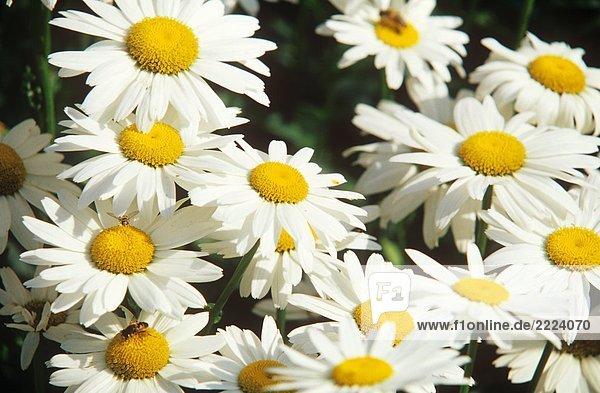 Margerite - Blüten