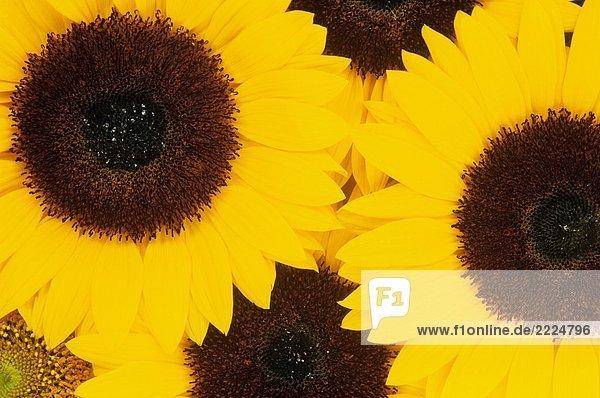 Sonnenblume - Blüten