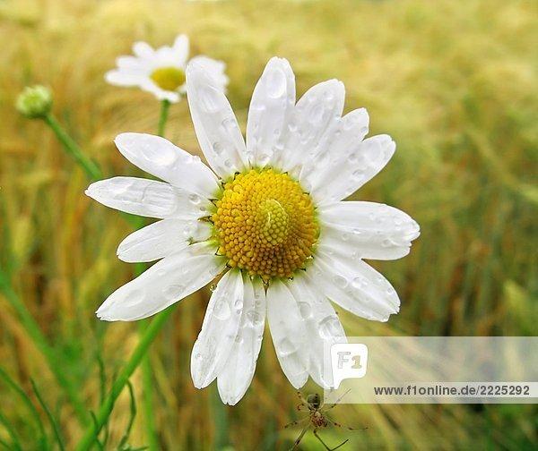 Blüte einer Kamille