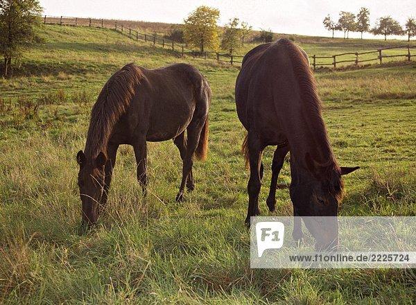 zwei Pferde - auf Wiese