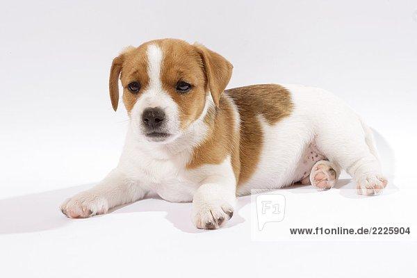 Jack Russell Terrier Welpe - Freisteller Jack Russell Terrier Welpe - Freisteller