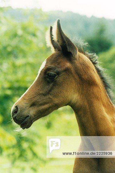 Arabian thoroughbred foal - portait