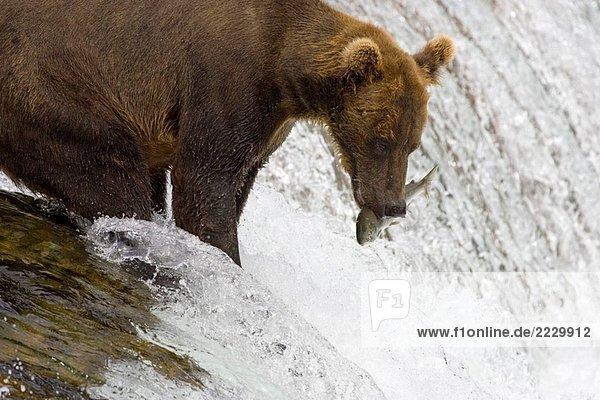 Adult Grizzlybär fängt einen Lachs am Brooks Falls  Alaska  USA
