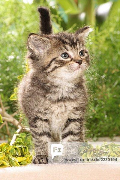 Kätzchen - stehend Kätzchen - stehend