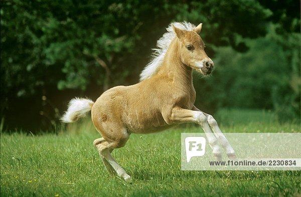 Classic Pony - Fohlen auf Wiese Classic Pony - Fohlen auf Wiese