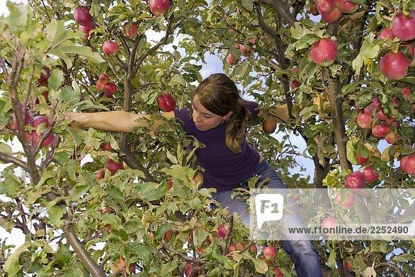 Untersicht von Frau Kommissionierung Apple auf Baum