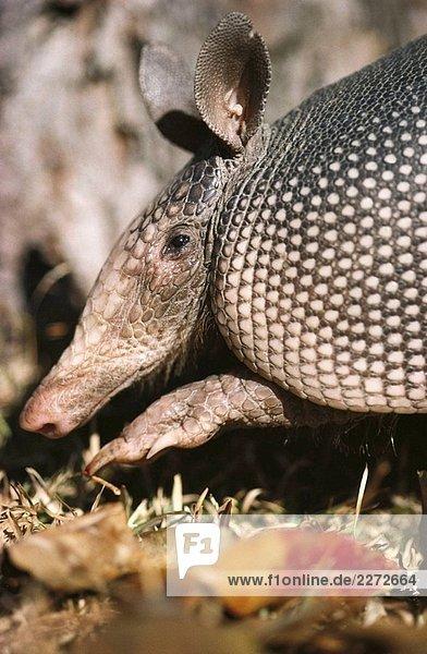 Neunbinden - Gürteltier (Dasypus Novemcinctus)