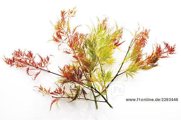 Zweig des Japanischen Ahorns (Acer palmatum dissectum)  Nahaufnahme