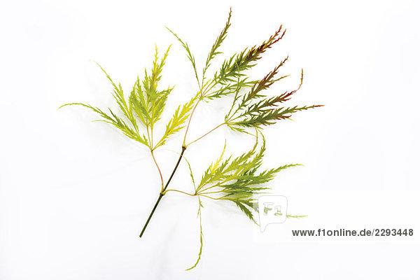 Zweig des Japanischen Ahorns (Acer palmatum dissectum),  Nahaufnahme