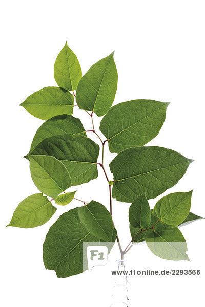 Blätter des Japanischen Knotenkrauts (Fallopia japanica)