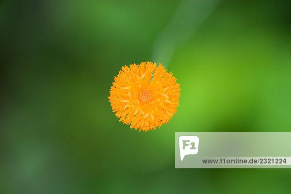 Orangenblütenzucht  Nahaufnahme